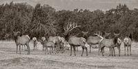 Capitan Elk Panorama In Sepia (2016)