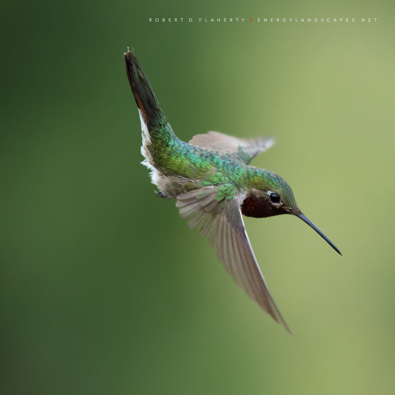 hummingbird, hummingbirds, fine art photography, New Mexico, South Central Mountains, monsoon, Ruidoso, Ruidoso New Mexico, rain, Thunderstorm, fine art, New Mexico fine art landscape photography