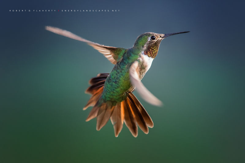 Rise And Shine, hummingbird, hummingbirds, fine art photography, New Mexico, South Central Mountains, monsoon, Ruidoso, Ruidoso New Mexico, rain, fine art