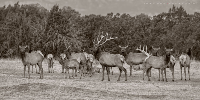 Elk, Spring, Capitan Ranch, Capitan New Mexico, Spring, Warm, Ruidoso New Mexico, sepia, black & white photography, sepia photography, fine art photography, fine art landscape photography, March, Capi
