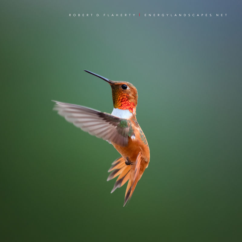 Rufous In Detail  hummingbird, hummingbirds, fine art photography, New Mexico, South Central Mountains, monsoon, Ruidoso, Ruidoso New Mexico, rain, fine art