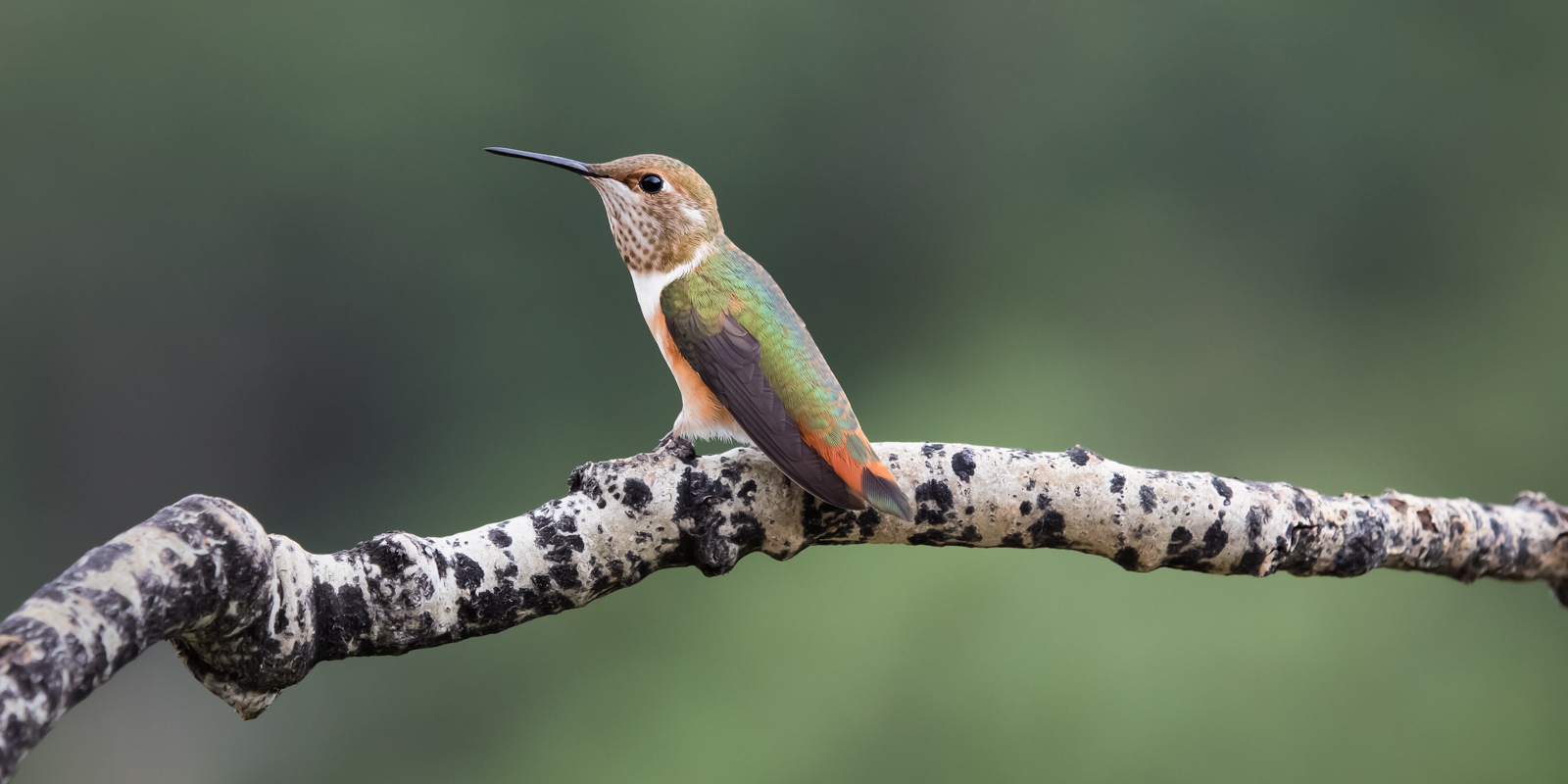Aspen Perch, hummingbird, hummingbirds, fine art photography, New Mexico, South Central Mountains, monsoon, Ruidoso, Ruidoso New Mexico, rain, fine art, photo