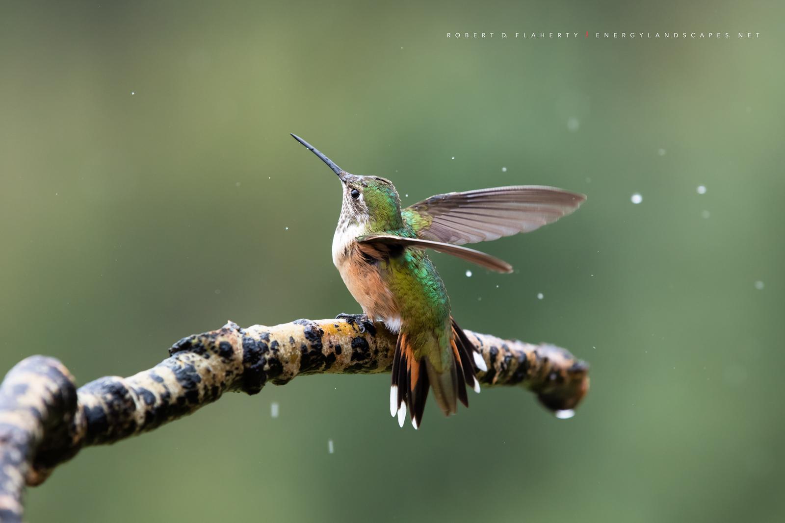 Rain Dance, hummingbird, hummingbirds, fine art photography, New Mexico, South Central Mountains, monsoon, Ruidoso, Ruidoso New Mexico, rain, Thunderstorm, fine art, photo