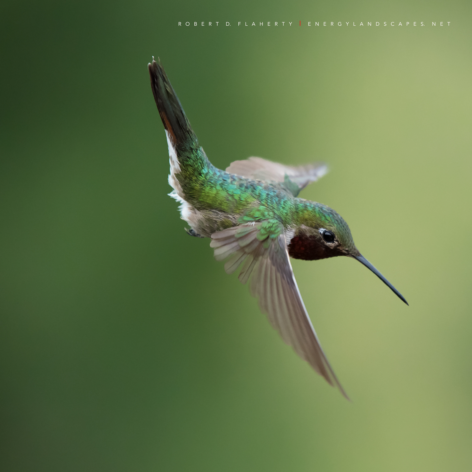 hummingbird, hummingbirds, fine art photography, New Mexico, South Central Mountains, monsoon, Ruidoso, Ruidoso New Mexico, rain, Thunderstorm, fine art, New Mexico fine art landscape photography, photo