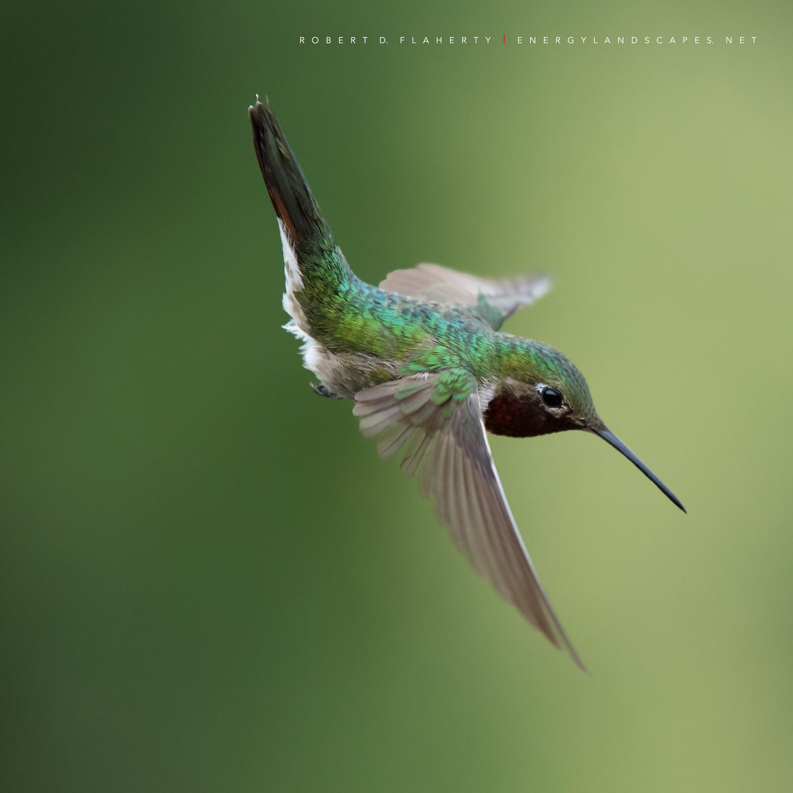 hummingbird, hummingbirds, fine art photography, New Mexico, South Central Mountains, monsoon, Ruidoso, Ruidoso New Mexico, rain, Thunderstorm, fine art, New Mexico fine art landscape photography, photo