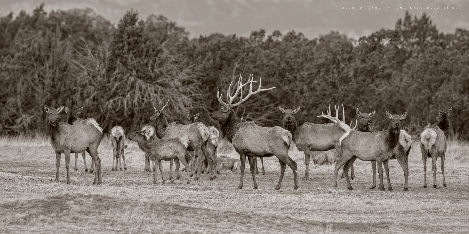 Elk, Spring, Capitan Ranch, Capitan New Mexico, Spring, Warm, Ruidoso New Mexico, sepia, black & white photography, sepia photography, fine art photography, fine art landscape photography, March, Capi, photo