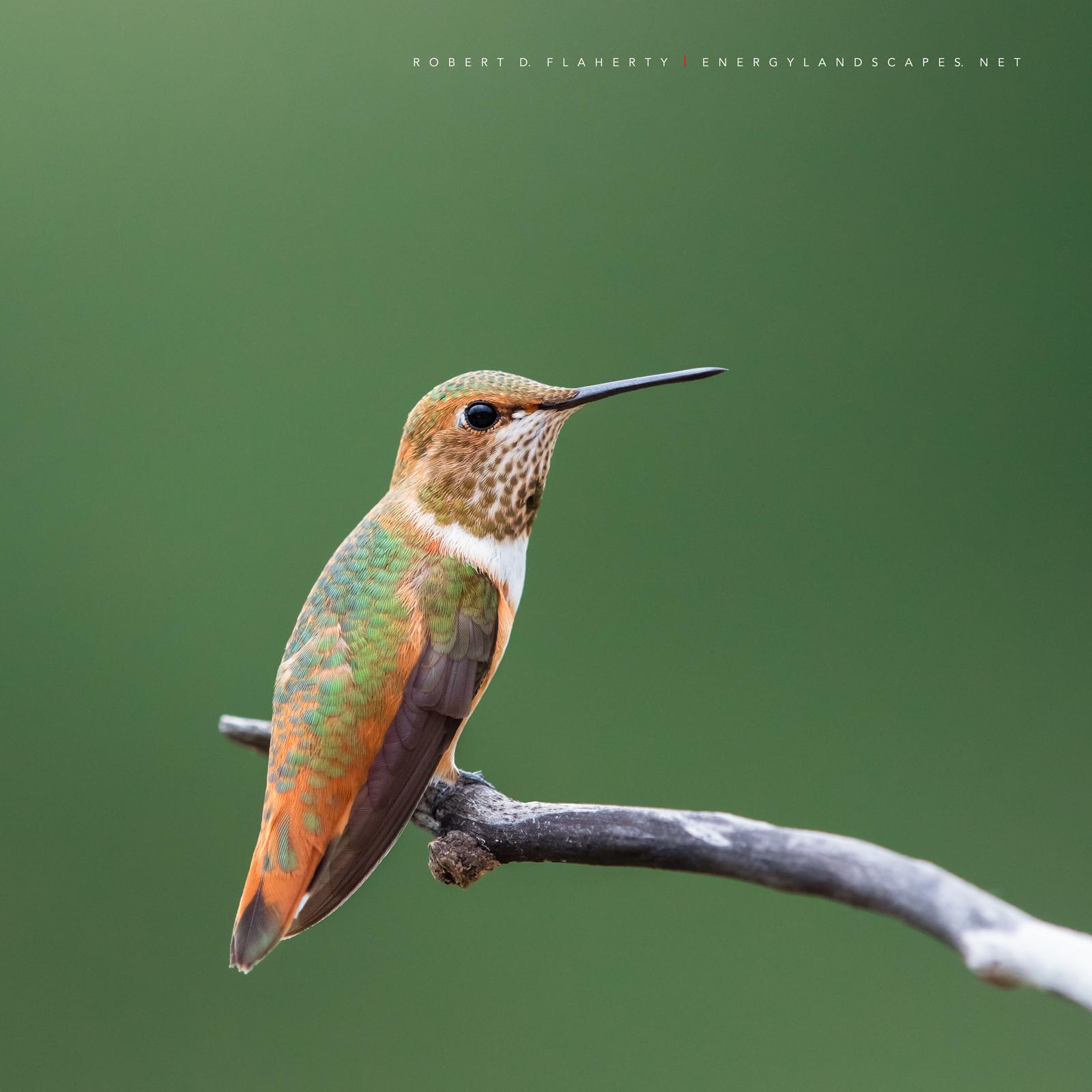 Brush Strokes Of Nature, hummingbird, hummingbirds, fine art photography, New Mexico, South Central Mountains, monsoon, Ruidoso, Ruidoso New Mexico, rain, Thunderstorm, fine art, photo