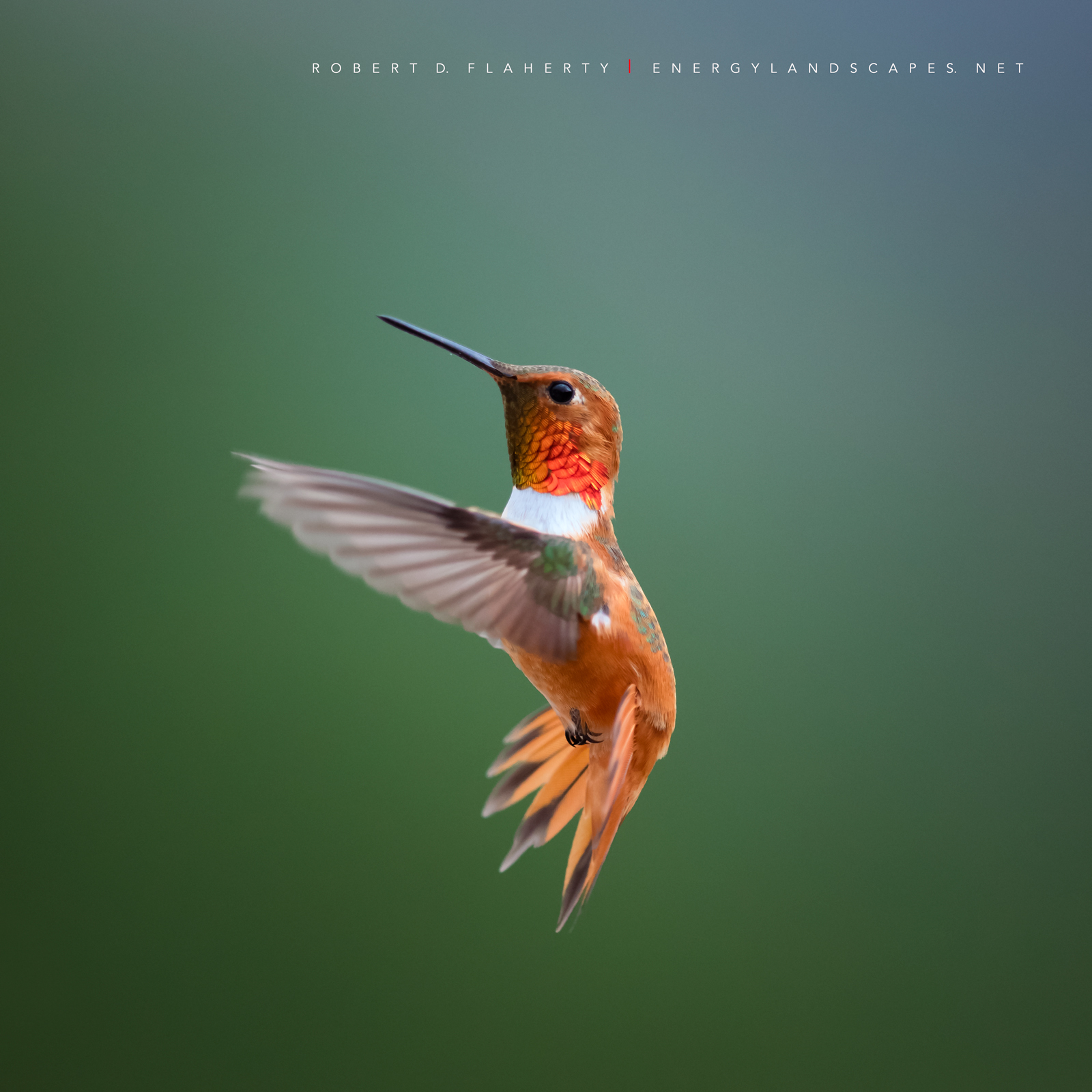 Rufous In Detail was photographed at my home overlooking Ruidoso New Mexico.  The image is part of a project photographing the...