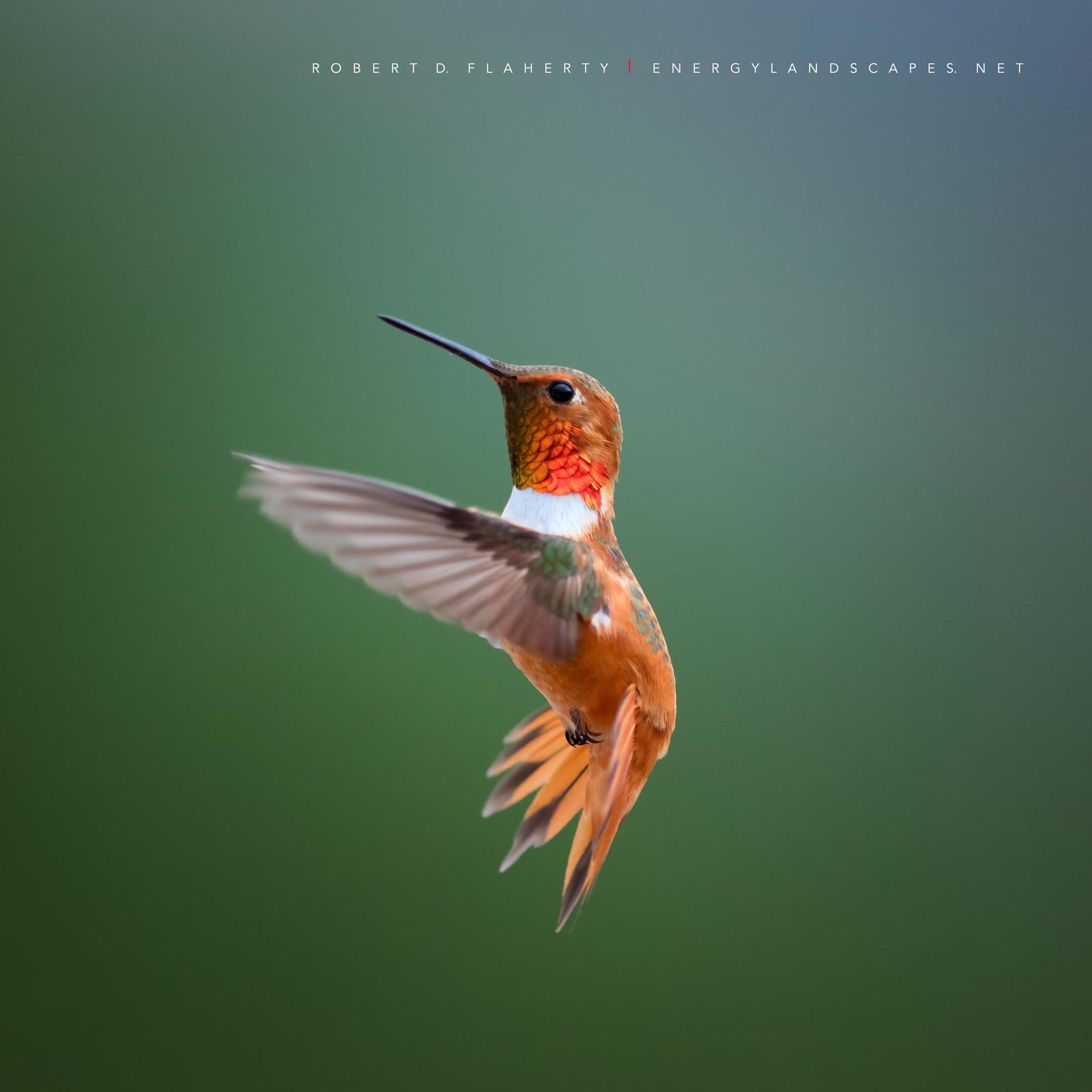 Rufous In Detail  hummingbird, hummingbirds, fine art photography, New Mexico, South Central Mountains, monsoon, Ruidoso, Ruidoso New Mexico, rain, fine art, photo