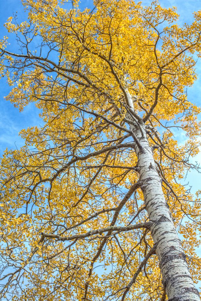 aspen, aspens, high resolution, Sorra Lighting, Ruidoso, Capitan Mountains, aspen grove,New Mexico fine art landscape photography by Robert D. Flaherty, composite panorama, Topside Gallery Ruidoso New, photo