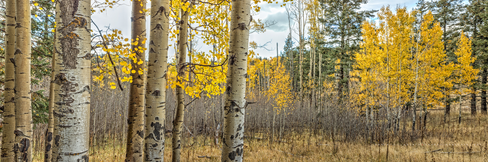 aspen, aspens, panorama, high resolution, Sorra Lighting, Ruidoso, Capitan Mountains, aspen grove,New Mexico fine art landscape photography by Robert D. Flaherty, composite panorama, fine art mural, m, photo